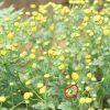 Cúc hoa hữu cơ chớm nở