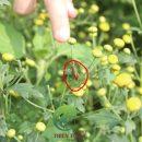 Châu chấu bên Cúc Hoa Hữu Cơ (Không thuốc trừ sâu hóa học)