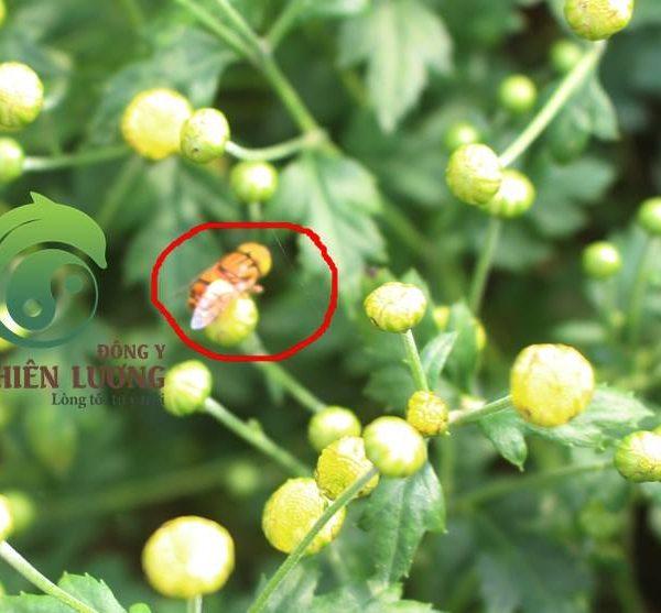 Cúc Hoa Hữu Cơ (Hoàn toàn không thuốc trừ sâu hóa học)