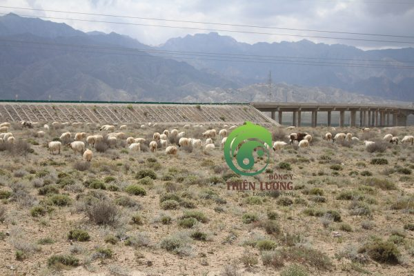 Đàn bò lông dài trên đường đi thăm vườn kỷ tử hữu cơ Thiên Lương
