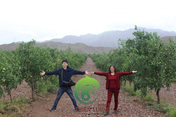 Cây Hồng táo được trồng hàng cách hàng 8 mét, cây cách cây 4 mét.