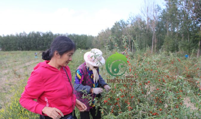 Lương y Đinh Thị Song Nga hướng dẫn công nhân thu hoạch kỷ tử hữu cơ. (2)