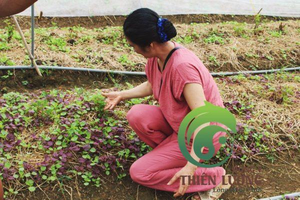 Lương y Đinh Thị Song Nga tới thăm vườn cúc hoa hữu cơ .Lương y Đinh Thị Song Nga tới thăm vườn cúc hoa hữu cơ .