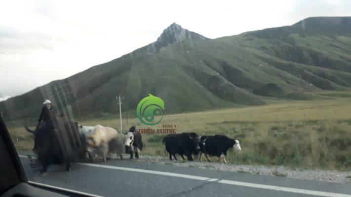 Những chú bò lông dài trên đường tới vườn kỷ tử hữu cơ.