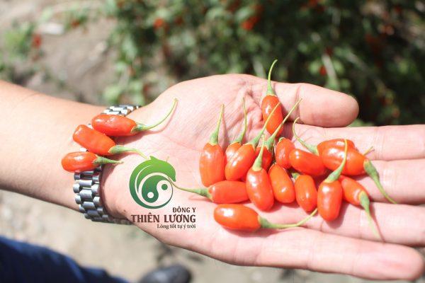Những quả kỷ tử đỏ mọng, chín già trên cây có vị ngọt đậm và hương thơm đặc biệt. (2)