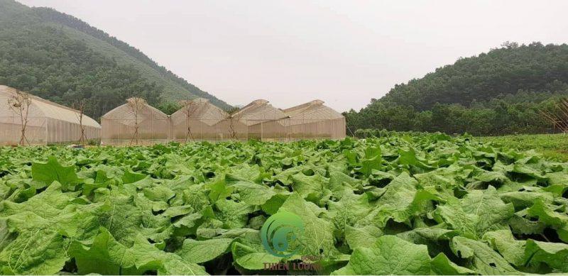 Vườn ngưu bàng hữu cơ tại Trang trại hữu cơ Hoa viên (rau hữu cơ Đại Ngàn).