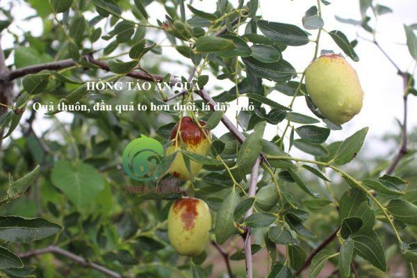 Hồng táo hữu cơ ăn quả chín già trên cây.