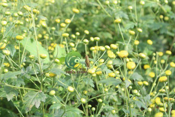Chấu chấu - người bạn thân giúp cúc hoa hữu cơ chống lại sâu bệnh.