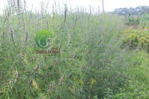 Ích mẫu thảo hữu cơ