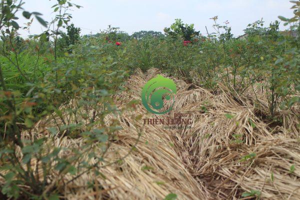 Hồng nhung cổ hữu cơ Tên khoa học: Rosa Họ: Rosaceae