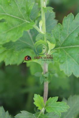 Bọ rùa ăn thịt hữu cơ - thiên địch diệt trừ sâu bệnh - người bạn tốt của cúc hoa hữu cơ