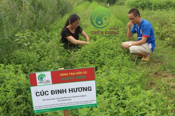 Niềm hạnh phúc ngập tràn của Đông Y Thiên Lương khi thấy sự sinh sôi, phát triển khỏe khoắn tự nhiên của những luống cúc hoa hữu cơ.