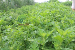 Cúc đinh hương hữu cơ