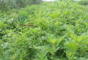 Ngoài cúc hoa hữu cơ, Đông Y Thiên Lương có thể cung cấp mầm, lá cúc hoa hữu cơ tươi cho những ai có nhu cầu.