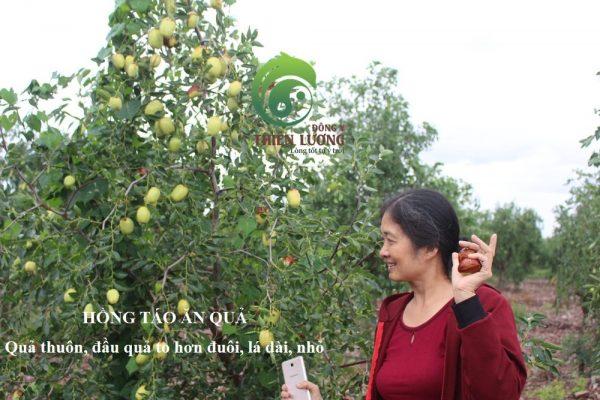 Lương Y Đinh Thị Song Nga thẩm định Hồng táo hữu cơ ăn quả.