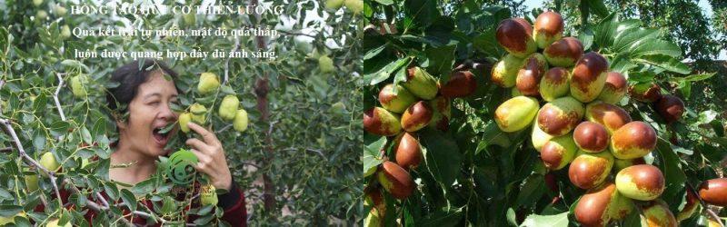 Sự khác biệt giữa Hồng táo hữu cơ Thiên Lương và hồng táo khác.