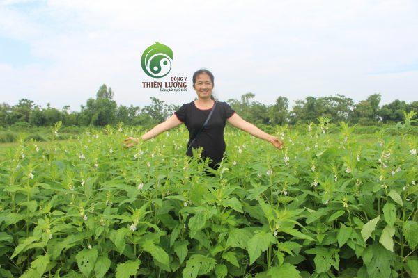 Lương y Đinh Thị Song Nga đến thăm và kiểm tra vừng đen tại nông trại hữu cơ Happyfarm (Trác Văn - Duy Tiên - Hà Nam).