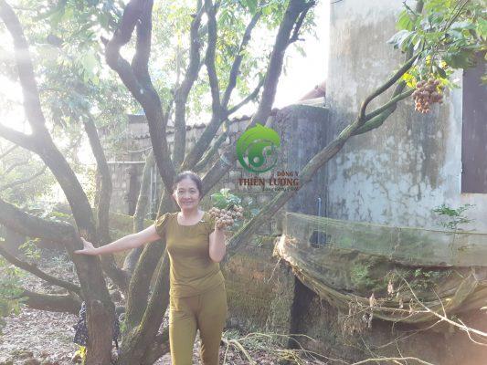 Lương y Đinh Thị Song Nga kiểm tra chất lượng quả tại cây nhãn lồng 30 năm tuổi.