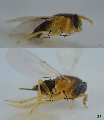 Ooencyrtus Marcelloi là ong ký sinh thuộc họ Encyrtidae - thiên địch diệt trừ bọ xít cho cây nhãn, vải.