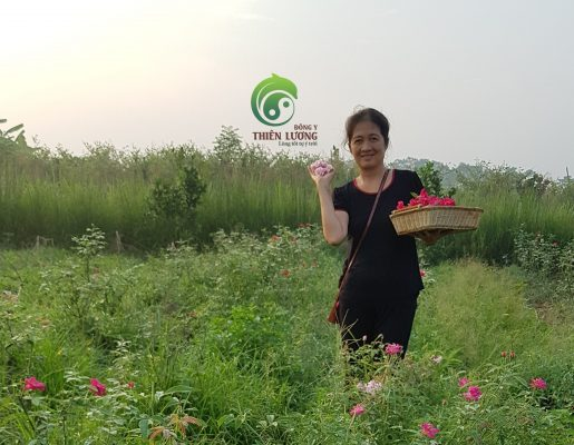 Lương y Đinh Thị Song Nga thu hái hồng nhung giống cổ hữu cơ trong buổi sớm bình minh
