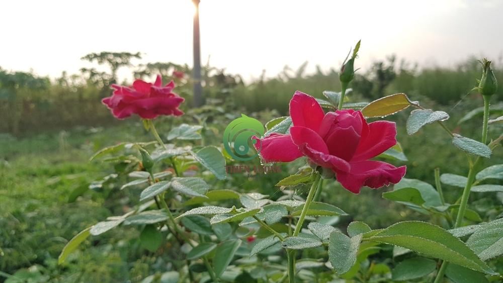 Hồng nhung cổ hữu cơ Thiên Lương đẹp tinh khôi, thuần khiết trong sớm bình minh.