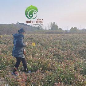 Thăm vườn cúc hoa hữu cơ rộng mênh mông tại Sơn Đông.