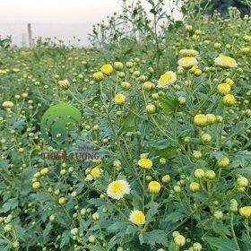 Những bông cúc đinh hương hữu cơ đầu mùa khoe sắc tỏa hương thanh khiết.