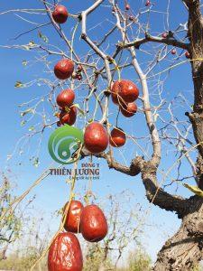 Những trái hồng táo hữu cơ đẹp đến nao lòng