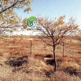 Miền đất hanh khô đầy nắng, gió, cây cối đều úa vàng.
