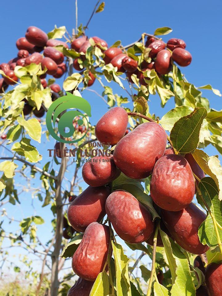 Hồng táo hữu cơ chín cực già trên cây - quả chuyển màu tím sẫm, ánh nắng mặt trời soi rọi đến từng khe kẽ của chùm quả, khí hậu hanh khô tạo nên những trái hồng táo ngon tuyệt đỉnh.