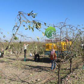 Công nhân nhộn nhịp thu hoạch hồng táo hữu cơ.