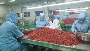 Lương y Đinh Thị Song Nga hướng dẫn công nhân lựa chọn kỷ tử hữu cơ theo tiêu chuẩn của Thiên Lương.
