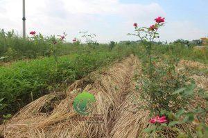 Hồng Nhung cổ hữu cơ Thiên Lương mang hương vị đặc trưng vô cùng khác biệt.