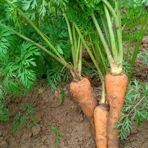Cà rốt hữu cơ tuy nhỏ bé nhưng đậm thật vị vô cùng.