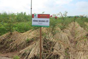 Hồng Nhung cổ hữu cơ Thiên Lương được canh tác hữu cơ kết hợp che phủ.