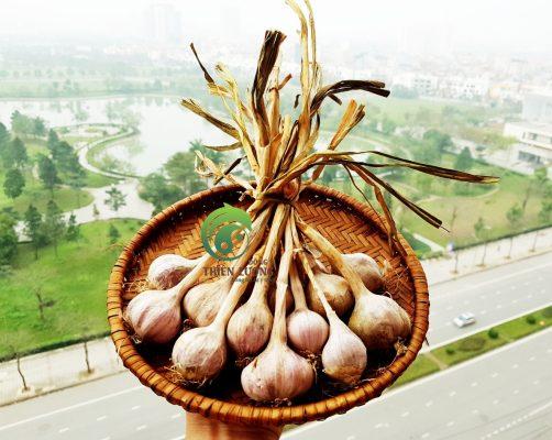 Tỏi tía sạch Sơn La thơm cay đặc biệt - Đông y Thiên Lương.