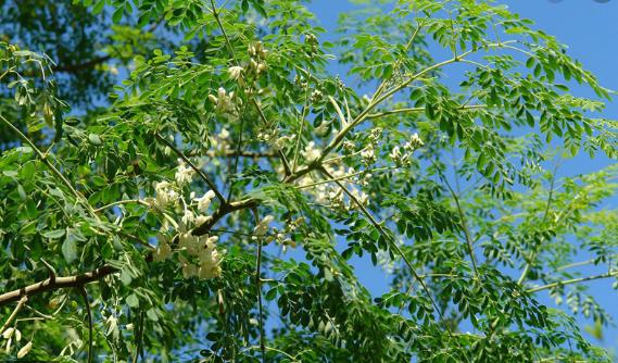 Hầu hết các bộ phận của cây chùm ngây (lá, hoa, rễ, quả non, nhựa) đều có tác dụng làm thực phẩm và làm thuốc trị bệnh.