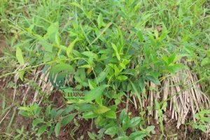 Dây thìa canh hữu cơ Đông y Thiên Lương được che phủ bằng cỏ vertiver tại Nông trại hữu cơ Happy Farm (Trác Văn - Duy Tiên - Hà Nam).