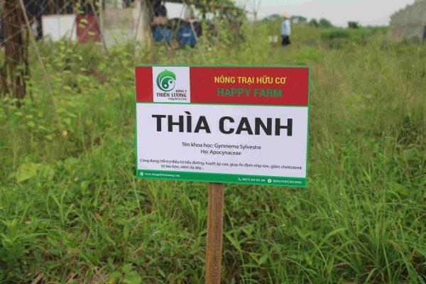 Dây thìa canh hữu cơ Đông y Thiên Lương.