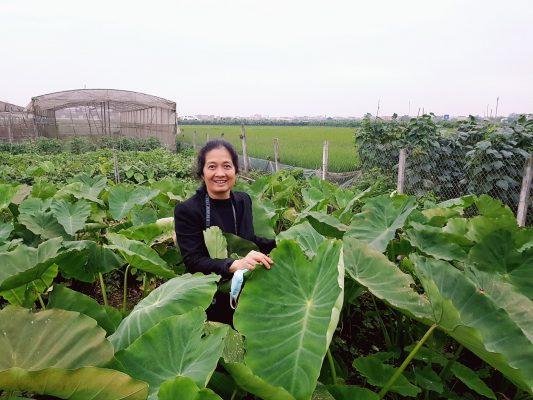 Niềm hạnh phúc của lương y Đinh Thị Song Nga trước sự phát triển mạnh mẽ của khoai sọ hữu cơ. Khaoi sọ có tác dụng gì?