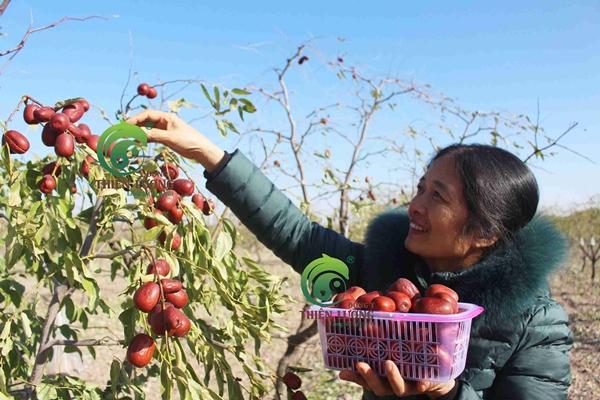 Táo đỏ Đông y Thiên Lương có chất lượng không?