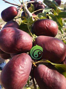 Những trái táo đỏ căng mọng tại vườn hữu cơ