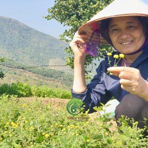 Cúc Hoa được thu hái chọn lọc