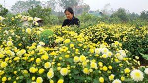 Những bông cúc vàng tươi đang bắt đầu vào vụ thu hoạch